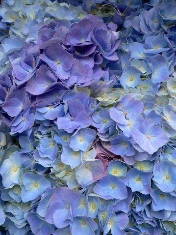あじさい「鮮やかなブルーとパープルのアジザイ花(アジザイ macrophylla )のクローズアップ」:スマホ壁紙(1)