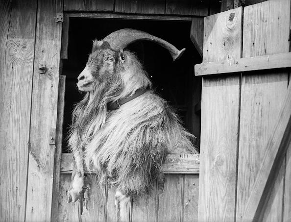 動物「Old Goat」:写真・画像(2)[壁紙.com]