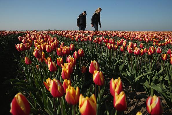チューリップ「Tulip Fields Blossom Near Magdeburg」:写真・画像(9)[壁紙.com]