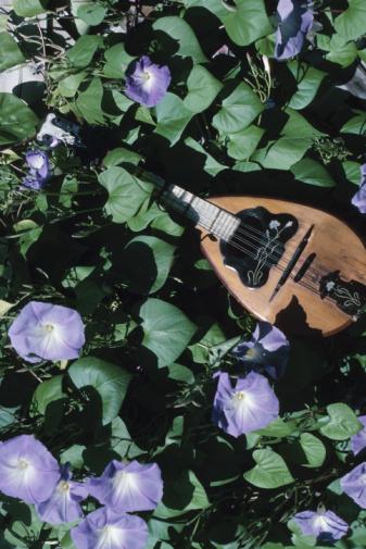 朝顔「Mandolin among morning glory flowers」:スマホ壁紙(14)