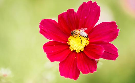 コスモス「Honeybee on red Mexican Aster」:スマホ壁紙(8)