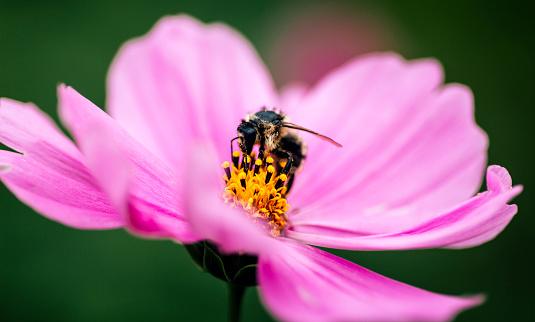 コスモス「Honeybee on pink Mexican Aster」:スマホ壁紙(12)