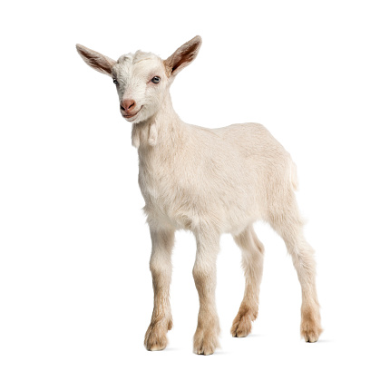 Goat「Goat kid (8 weeks old) isolated on white」:スマホ壁紙(8)
