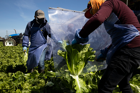 Romaine Lettuce「Immigrant Agricultural Workers Critical To U.S. Food Security Amid COVID-19 Outbreak」:写真・画像(1)[壁紙.com]