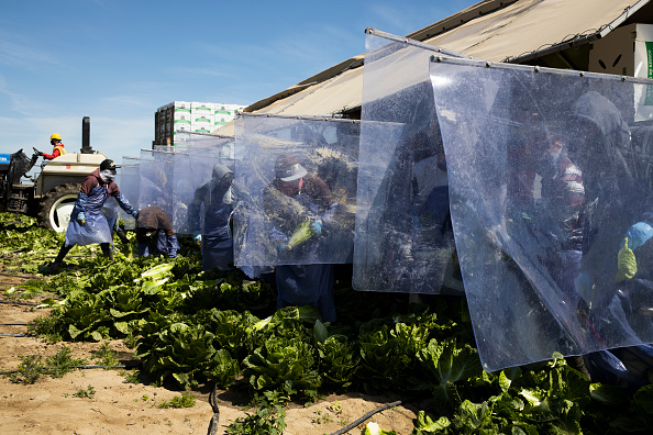 Romaine Lettuce「Immigrant Agricultural Workers Critical To U.S. Food Security Amid COVID-19 Outbreak」:写真・画像(8)[壁紙.com]