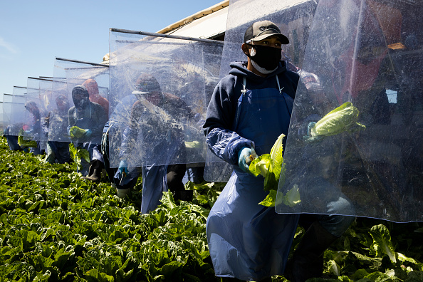 Romaine Lettuce「Immigrant Agricultural Workers Critical To U.S. Food Security Amid COVID-19 Outbreak」:写真・画像(2)[壁紙.com]