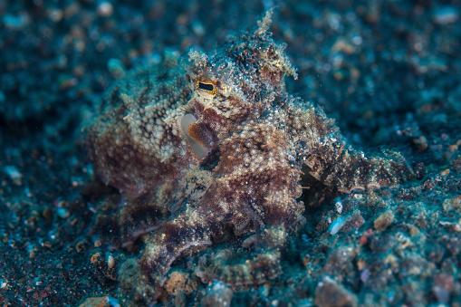 Ugliness「A well-camouflaged Mototi octopus on the sandy seafloor.」:スマホ壁紙(10)