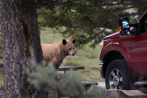 野生動物「A Black Bear, cinnamon phase, inspects a vehicle」:スマホ壁紙(9)