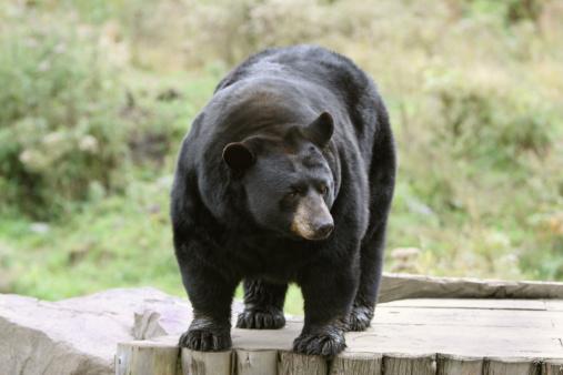 Standing「Black Bear Standing」:スマホ壁紙(10)