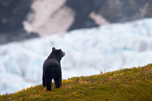 Animals Hunting「Black Bear On A Hill Near The Harding Icefield Trail Views Exit Glacier, Kenai Fjords National Park, Southcentral Alaska, Summer」:スマホ壁紙(7)