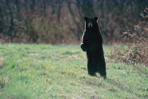 Northeast「Black bear at Moosehorn National Refuge , Maine」:スマホ壁紙(11)