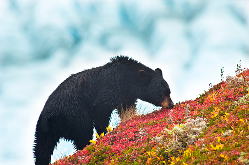 Exit Glacier「A Black Bear Is Feeding On Berries On A Hill Side Near The Harding Icefield Trail At Exit Glacier In Kenai Fjords National Park, Southcentral Alaska, Autumn」:スマホ壁紙(0)