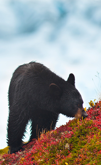 Exit Glacier「A Black Bear Is Feeding On Berries On A Hill Side Near The Harding Icefield Trail At Exit Glacier In Kenai Fjords National Park, Southcentral Alaska, Autumn」:スマホ壁紙(19)