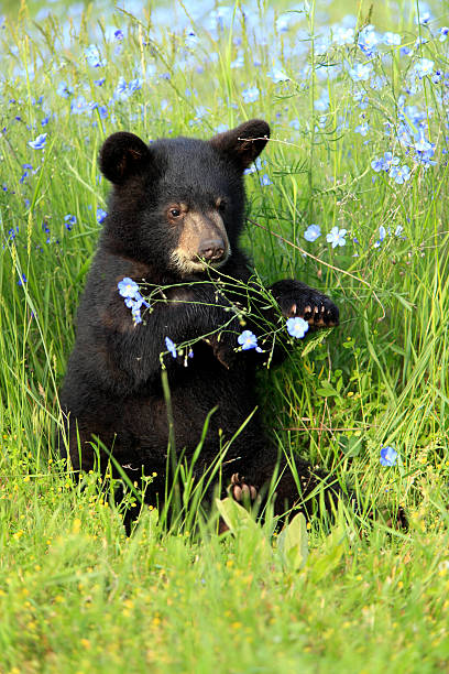 Black bear:スマホ壁紙(壁紙.com)