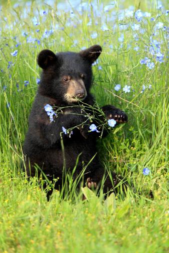 Bear Cub「Black bear」:スマホ壁紙(19)