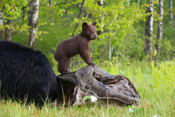 Black bear cub and mother.:スマホ壁紙(壁紙.com)