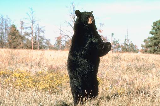 Standing「Black bear standing in field」:スマホ壁紙(11)