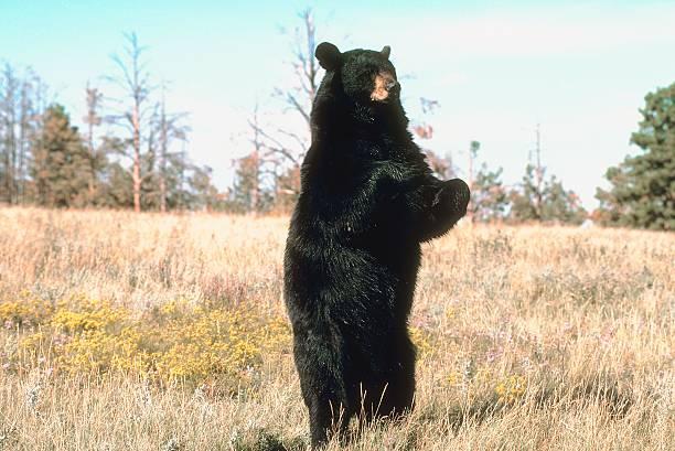 Black bear standing in field:スマホ壁紙(壁紙.com)