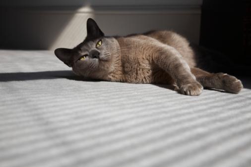 ビルマネコ「Cat Laying on Floor in Sunshine」:スマホ壁紙(10)
