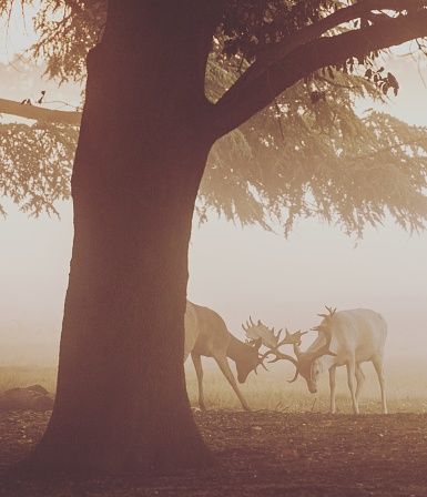 Rutting「Two stags fighting, Bushy Park, Richmond upon Thames, United States」:スマホ壁紙(18)