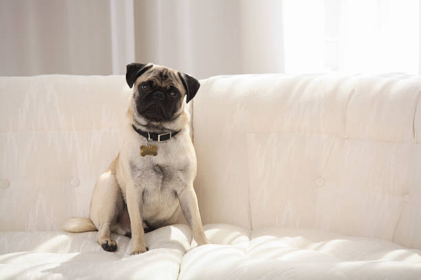Pug on a couch:スマホ壁紙(壁紙.com)