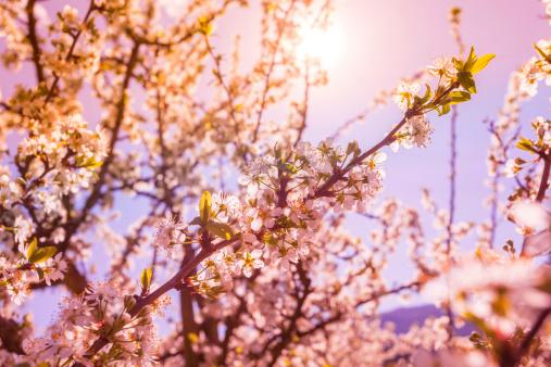 Peach「オーチャードの木が開花春に」:スマホ壁紙(13)