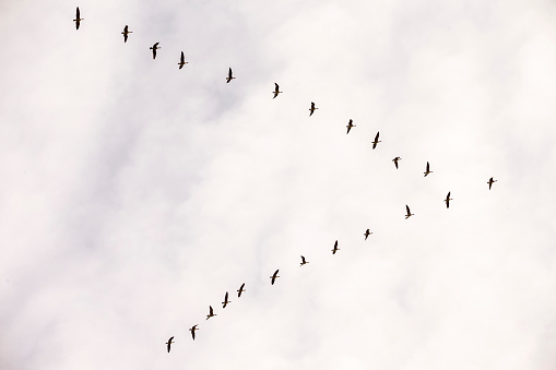Flock Of Birds「Flock of Snow Goose, California, USA」:スマホ壁紙(5)