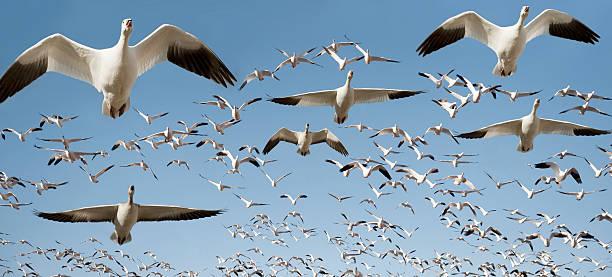 Flock of snow geese in flight:スマホ壁紙(壁紙.com)