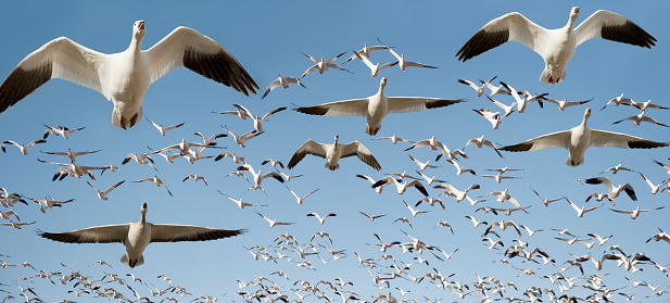 Flock Of Birds「Flock of snow geese in flight」:スマホ壁紙(3)