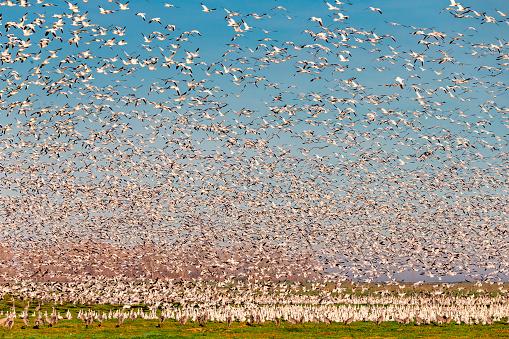 Flock Of Birds「Flock of Snow Goose flying, California, USA」:スマホ壁紙(3)