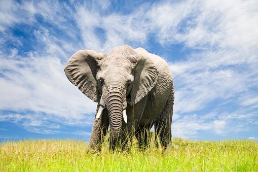 象「無料アフリカの象」:スマホ壁紙(19)
