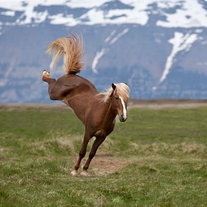 Stallion「Icelandic Stallion bucking, Northern Iceland」:スマホ壁紙(15)