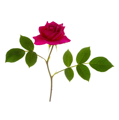 Stamen「Fragrant magenta pink rose, Rosa Gloriana, on white.」:スマホ壁紙(14)