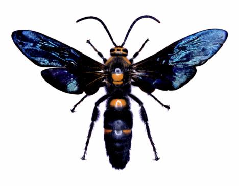 昆虫「Wasp 試料」:スマホ壁紙(3)