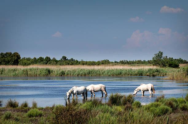 France, Camargue, Camargue horses in water:スマホ壁紙(壁紙.com)