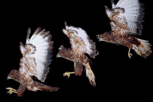Hawk - Bird「Eurasian hawk (Buteo buteo) in flight (composite)」:スマホ壁紙(11)