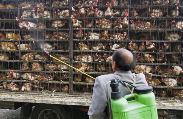 Chicken Meat「Surveillance Tightened After Dead Goose In Qinghai Tested Positive For H5N1 Virus」:写真・画像(17)[壁紙.com]