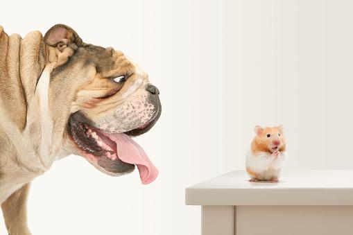 Praying「Problems! Hamster trapped by Bulldog prays for help」:スマホ壁紙(13)