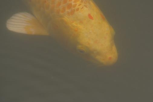 Carp「Fish underwater」:スマホ壁紙(15)