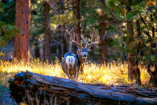 Kaibab National Forest「Kaibab Deer, Kaibab Plateau, Arizona, USA」:スマホ壁紙(1)