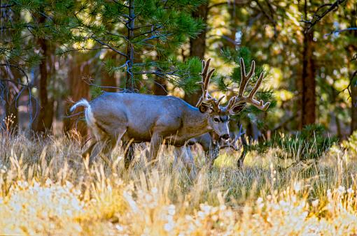 Kaibab National Forest「Kaibab Deer, Kaibab Plateau, Arizona, USA」:スマホ壁紙(11)