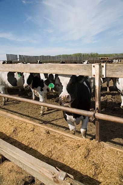 Cows at trough:スマホ壁紙(壁紙.com)