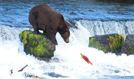 Animals Hunting「Grizly Bear at Alaska」:スマホ壁紙(1)
