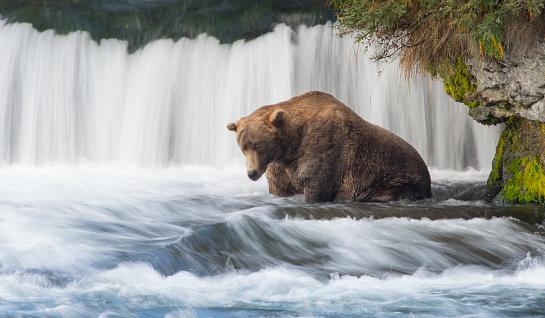 Katmai National Park「Grizly Bear at Alaska」:スマホ壁紙(15)