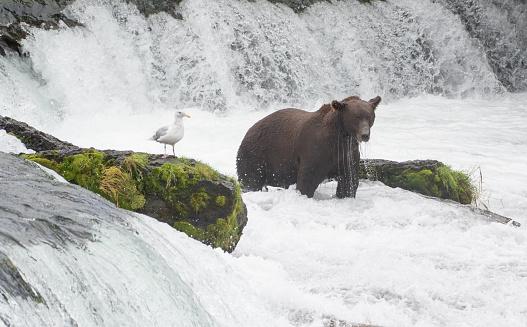 Katmai National Park「Grizly Bear at Alaska」:スマホ壁紙(11)