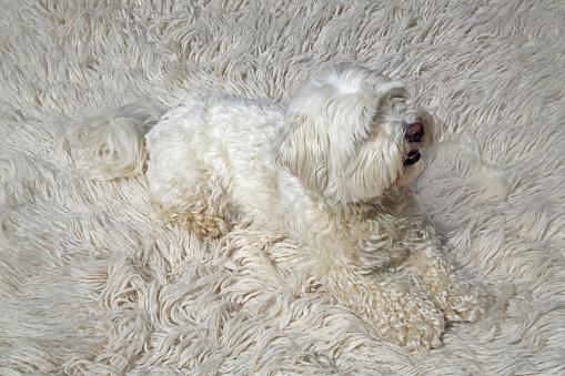 Mammal「White dog camouflaged on white wool carpet.」:スマホ壁紙(17)