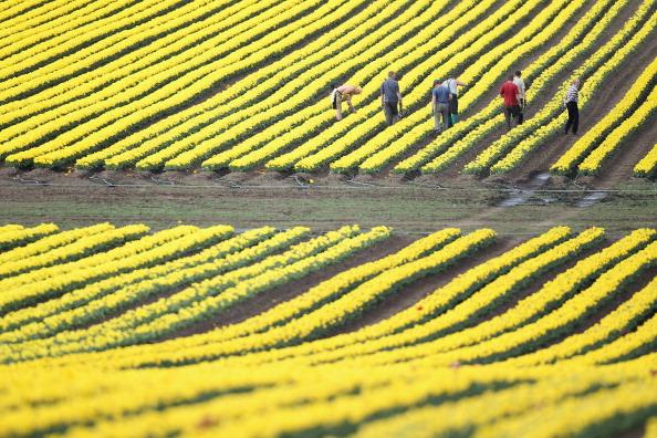チューリップ「Tulips Blossom Near Magdeburg」:写真・画像(17)[壁紙.com]