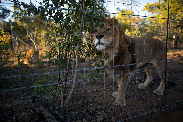 Three Lions「Thirty Three Former Circus Lions Are Airlifted Back To South African Sanctuary」:写真・画像(11)[壁紙.com]