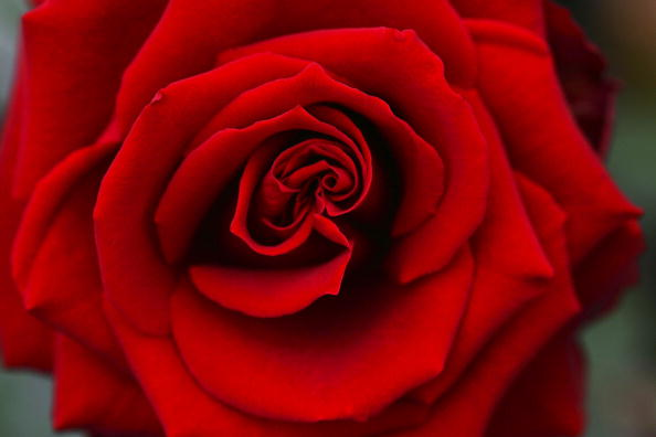 Red「Flower Exports To Europe For Valentines Day」:写真・画像(9)[壁紙.com]