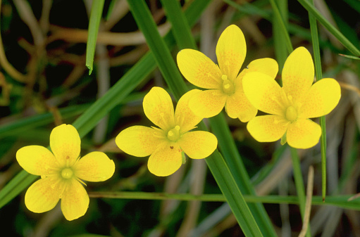Arctic National Wildlife Refuge「Yellow Saxifrage」:スマホ壁紙(3)
